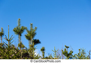 Growing pine tree plants