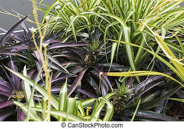Growing pineapple plant