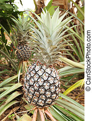 growing pineapple plant, tropical fruit of the Northeast...