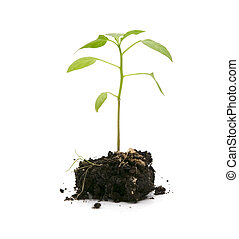 growing plant - green plant in a soil over white