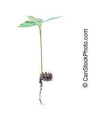 Growing plant, with root isolated on white background, ...