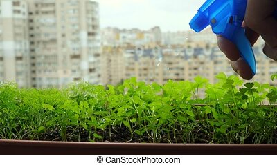 Growing plants at home. Hand sprinkling plants with water at...