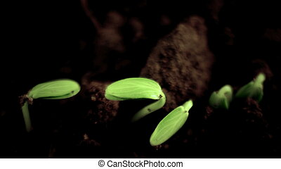 Growing Plants Timelapse Cucumber Sprouts Germination. Springtime. Evolution Concept. On Black Background