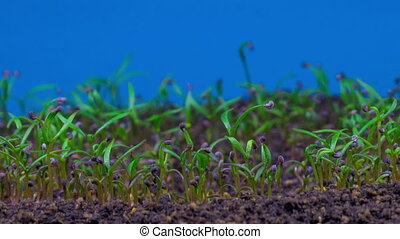 Growing Poppy Plant. Blue Background. Time Lapse.