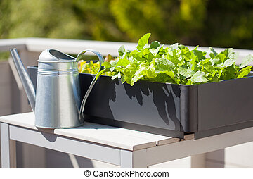 growing radish and salad in container on balcony. vegetable...