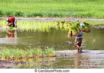Growing rice - Farmer are growing jasmine rice in...