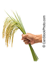 Growing rice in hand