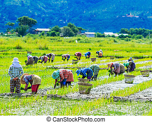 Growing rice on the paddy rice farmland in village Inlay...