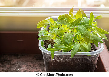 Growing seedlings of tomatoes and peppers on the windowsill in plastic pots