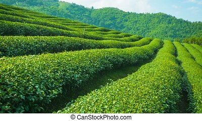 Growing tea close up. Highlands of Thailand