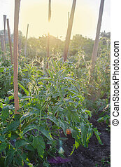 Growing tomato in the garden