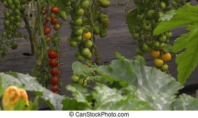 Growing tomatoes from its plant