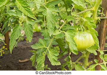 Growing tomatoes in your garden. Green tomatoes ripen in the garden