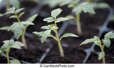 Growing tomatoes seedlings. Small tomato green plants -...