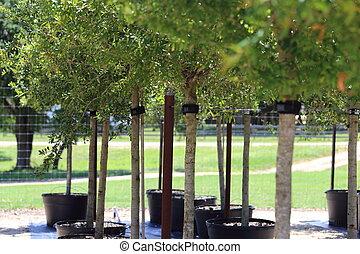 Growing Trees - A plant nursery growing live oak trees.