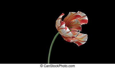 growing tulip flower with alpha channel