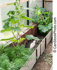 Growing various spicy herbs and vegetables in a greenhouse. Cucumber, zucchini and dill grow in a multi-greenhouse greenhouse