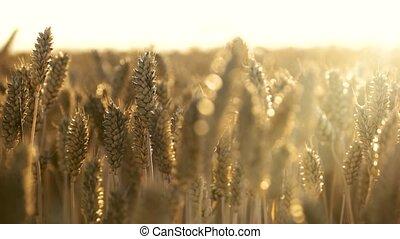 Growing wheat crop, close up. Barley for craft beer dark.