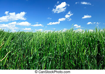 Winter Wheat - Growing Winter Wheat in Brilliant Blue Sky (...