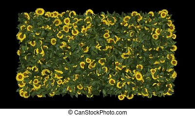 growing yellow daisy & sunflower in green leaves background, spring scene.