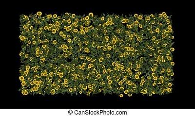 growing yellow daisy & sunflower