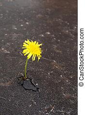 Growing yellow dandelion in asphalt - Young dandelion makes...