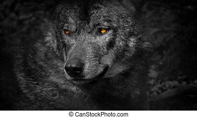 growls, yeux, loup, résumé, ardent