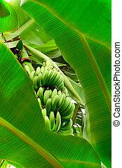 Green grown bananas among their big leaves.