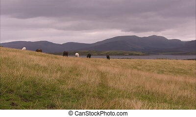 Grown horses in Ireland - An extreme long shot of horses in...