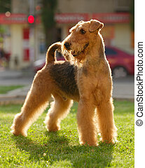 Grown-up brown and black haired purebred airedale terrier...