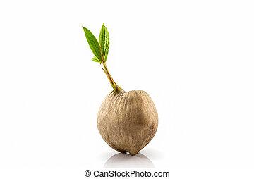 grown-up., drzewo, młody, kiełek, orzech kokosowy