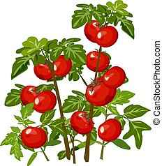 Growth and ripening tomato. Plants isolated on white background. Agriculture. Cartoon vector close-up illustration.