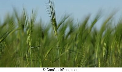 Growth of cereal - Summer wheat crops in southern Europe.