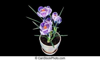 Growth of violet crocuses