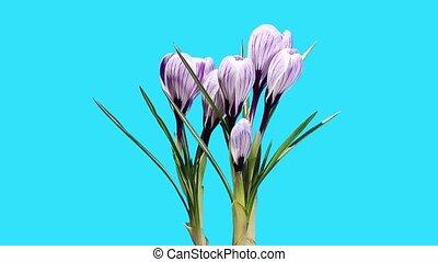 Growth of violet crocuses flower