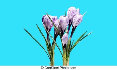 Growth of violet crocuses flower buds ALPHA matte (Crocus...