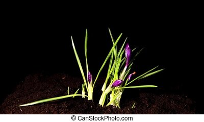 Growth of violet crocuses