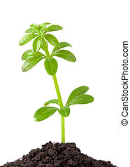 growth plant - Green plant in growth isolated on white