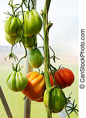 Growth ripe tomatoes in greenhouse.