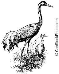 grue, eurasien, oiseau