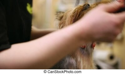 Grumer dry the dog with a hair dryer and comb out excess wool after washing. Zoo beauty salon. Scratch the ears of a Yorkshire terrier.