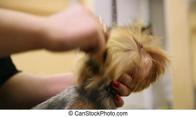 Grumer dry the dog with a hair dryer and comb out excess wool after washing. Zoo beauty salon. Scratch the ears of a Yorkshire terrier. Professional groomer.