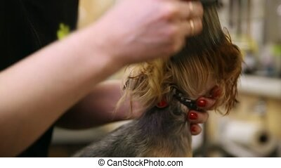 Grumer dry the dog with a hair dryer and comb out excess...