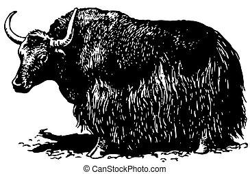 grunniens, bos, yak