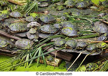 grupa, żółwie