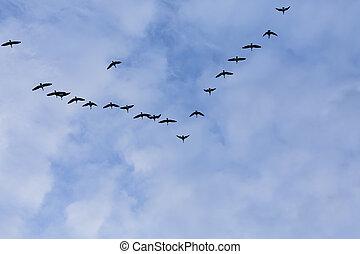 grupa, od, migrowanie, gęsi, ptaszki
