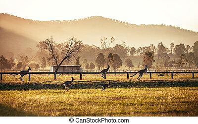 grupo, australiano, canguros