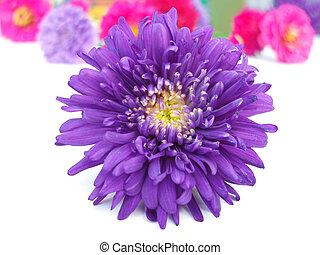 grupo, chrysanthem