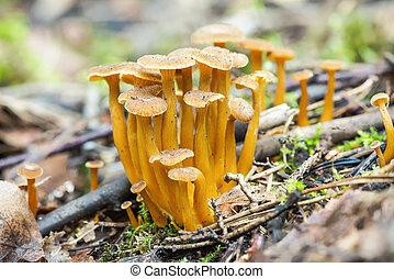 grupo, de, comestível, cogumelos, ligado, chão floresta