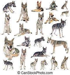 grupo, de, czechoslovakian, lobo, cão